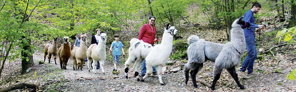 Trekking con i lama